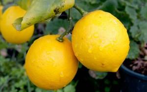 Определим, к чему снятся лимоны. Что хорошего и дурного предвещает сонник?