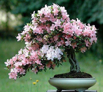 Рододендрон (Азалия, Rhododendron Obtusum) - искусство выращивания деревьев