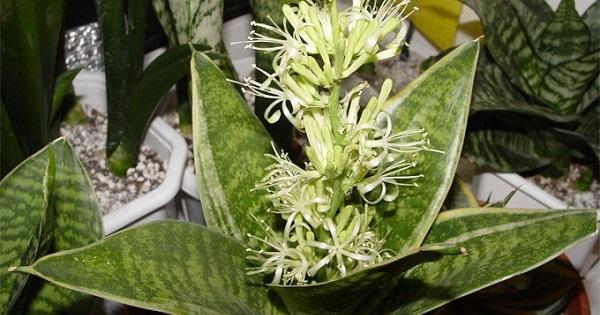 Цветок щучий хвост – вред или польза: приметы, уход, можно ли держать дома?